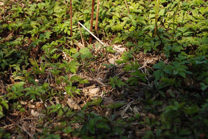 Et grønt teppe av ung skvallerkål dekker bakken om våren.