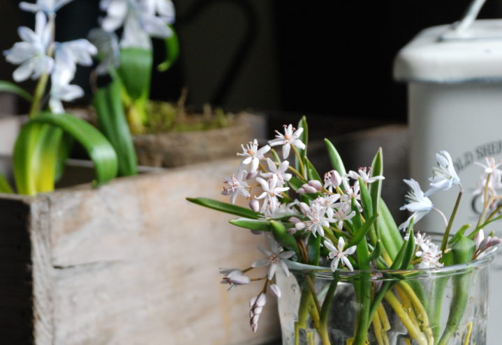 Vårløk, tyrkerblåstjerne med løen intakt i vase på bordet inne.