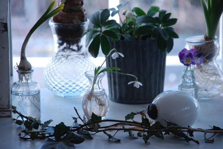 Snøklokker, vårløk, med løken intakt i en liten vase på et bord.
