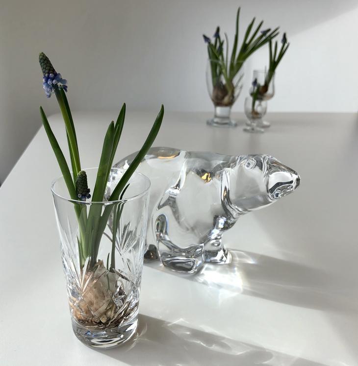 Vårløk, perleblomst / muscari med løk i behold i et krystallglass med vann inne på bordet.