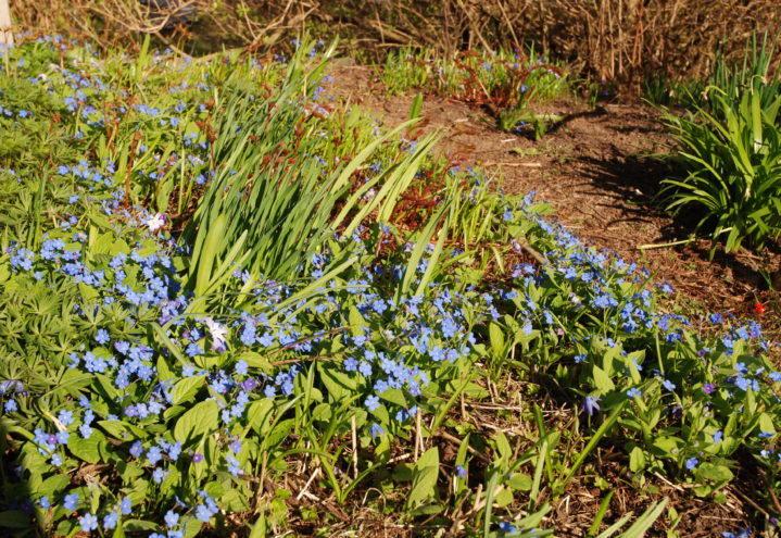 Små blå blomster i bed i vårsol