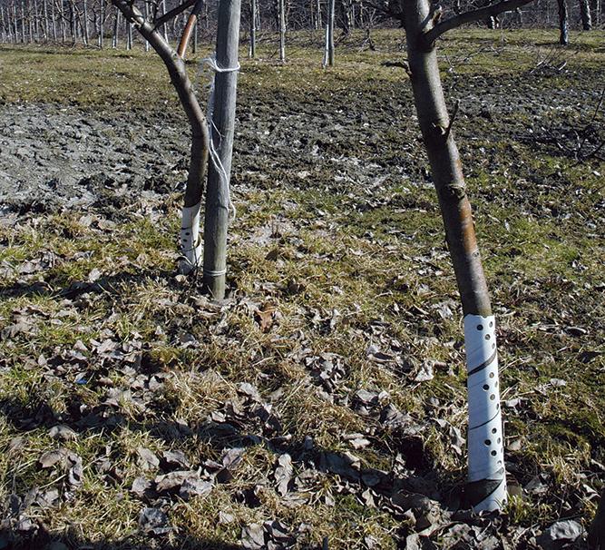 Vern på trær mot mus og hare