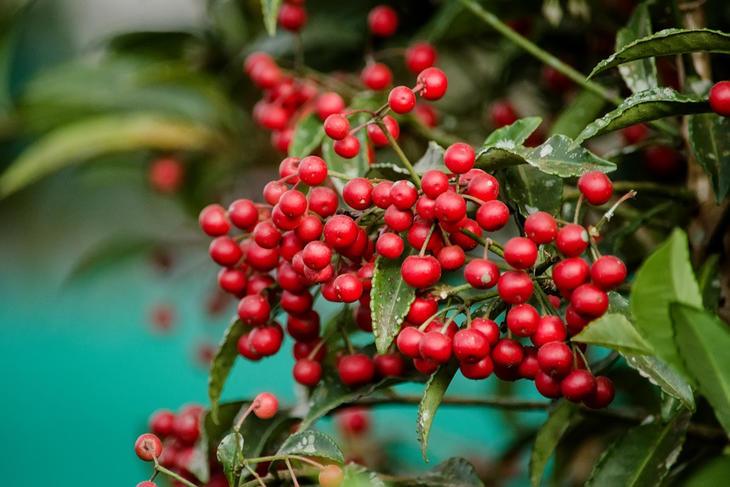 Røde bær pynter til jul