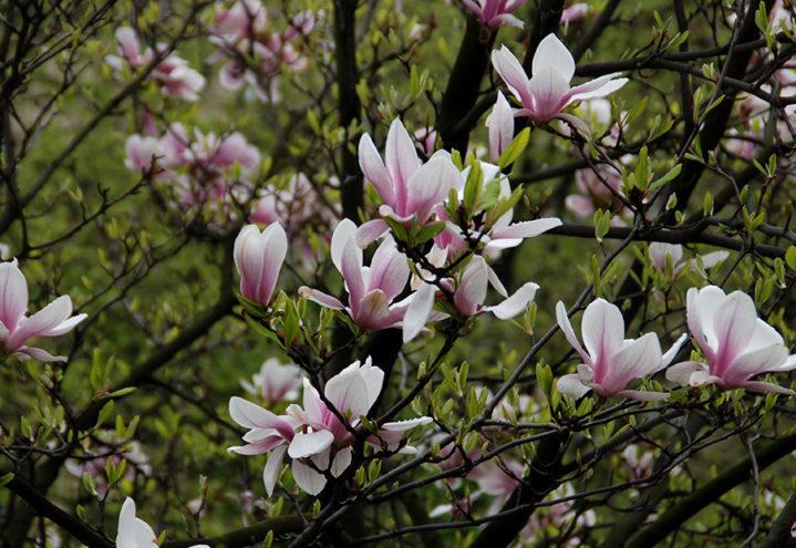 Rosa magnolia i blomst