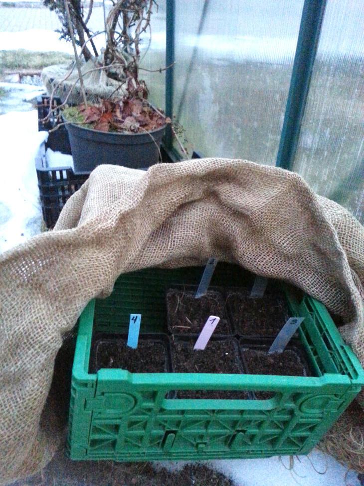 Stratifisering av frø i drivhus