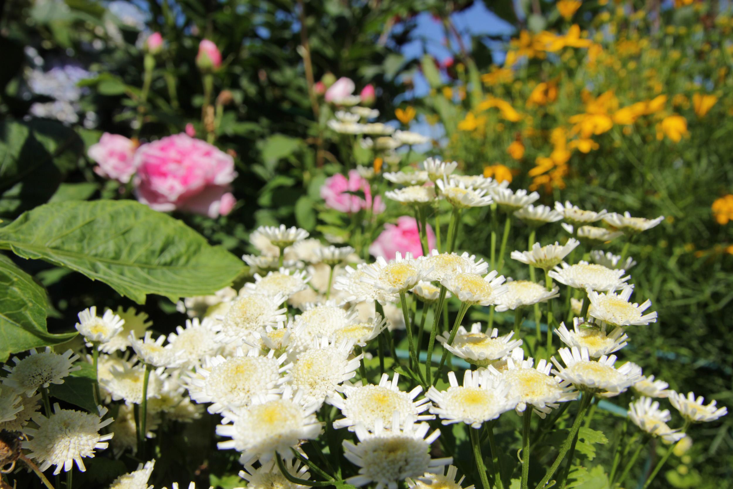 Bilde av hvit sommerblomst