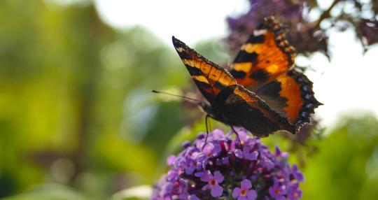 Bilde av en sommerfugl på et aks