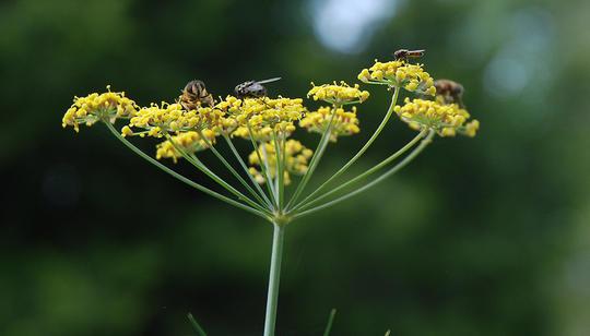 blomsterflue