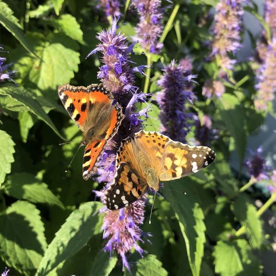 bilde av flere sommerfugler på blomst