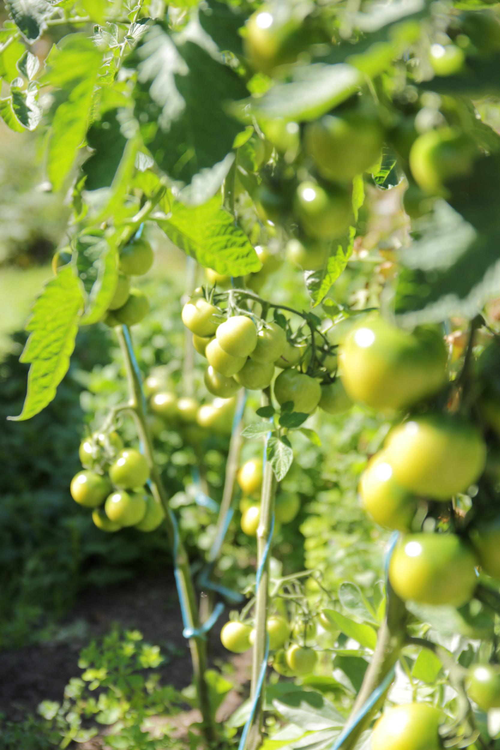Grønne tomatkart på busk