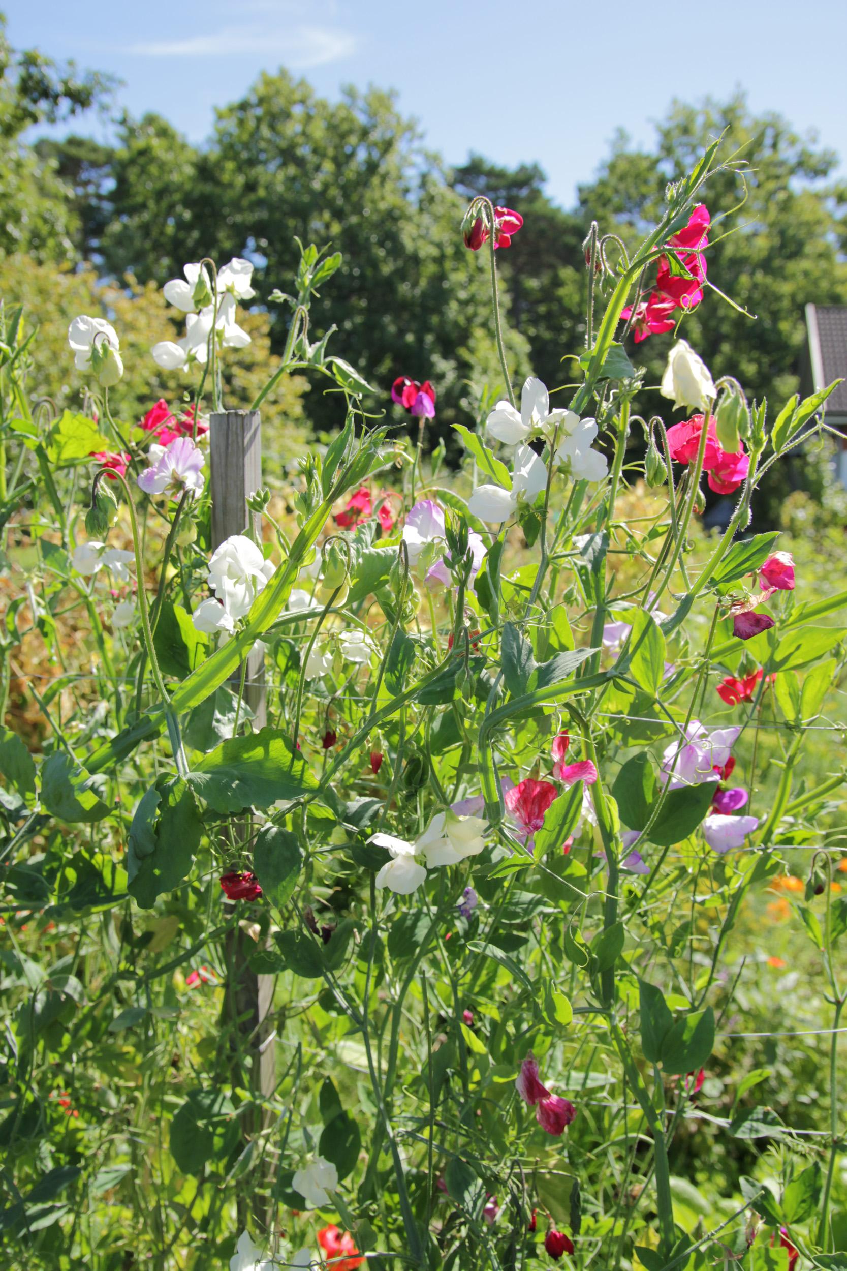 Bilde av blomstererter fargemiks