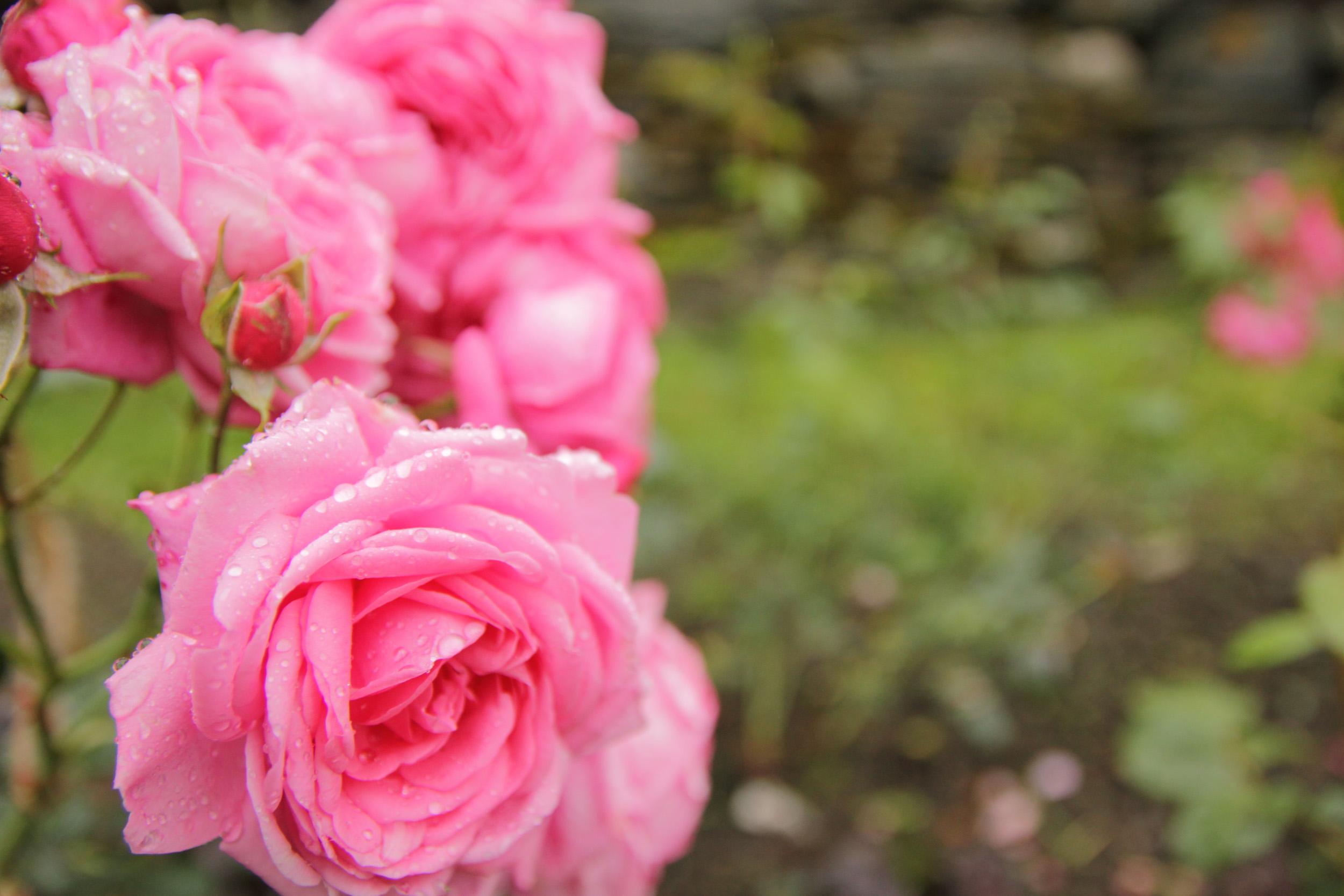 Bilde av en rose