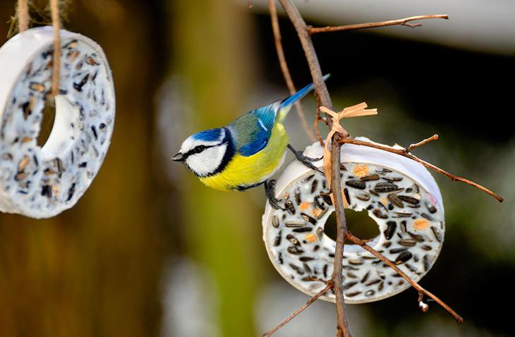 Blåmeis på fuglemat