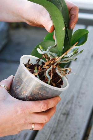 orkide løftes forsiktig ut av potta