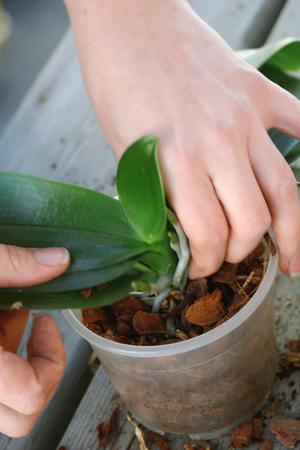 planta plasseres i litt jord