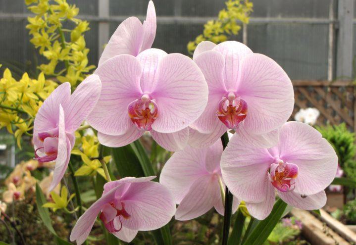 En rosa brudeorkidé i full blomst