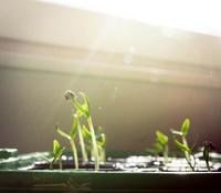 Små frøplanter som strekker seg mot plantelyset.