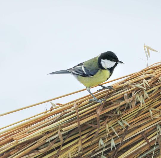 Kjøttmeis på fuglenek