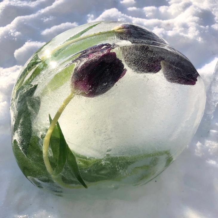 Tulipaner frosset inn i is i en rund form, som et bilde.