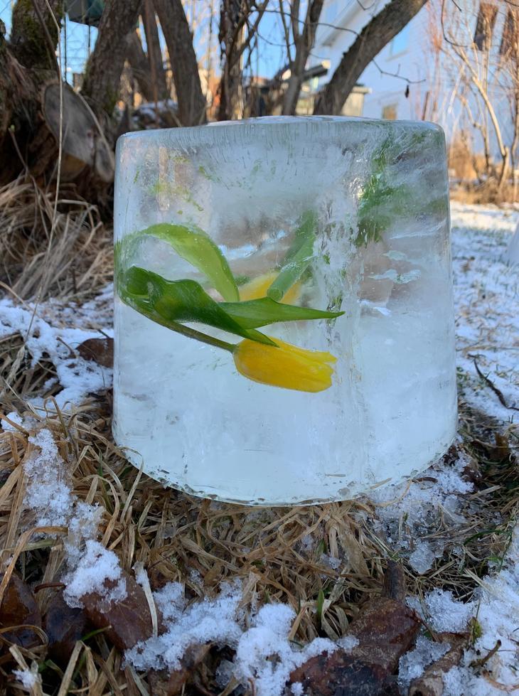 Gule tulipaner frosset inn i is i en bøtte.