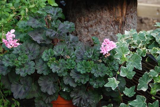 En mørkbladet pelargonia med rosa blomster. Ved siden av en eføy