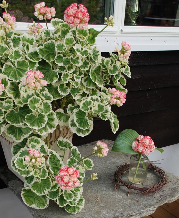 En broketbladet pelargonia med fylte, tofargede blomster i potte. Ved siden av en vase med en blomst i.