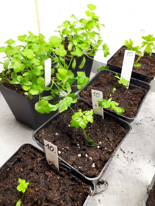 Mange bladpersiller plantes om i hver sin potte
