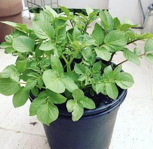 Bilde av en potetplante