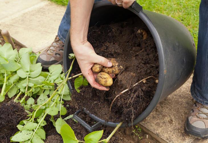Bilde av poteter som plukkes