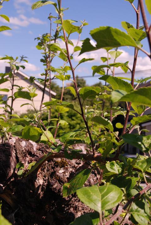 Pisk (grein) vokst fram i juni.
