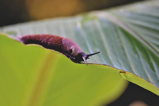 En brunskogsnegl som kryper på et grønt blad.