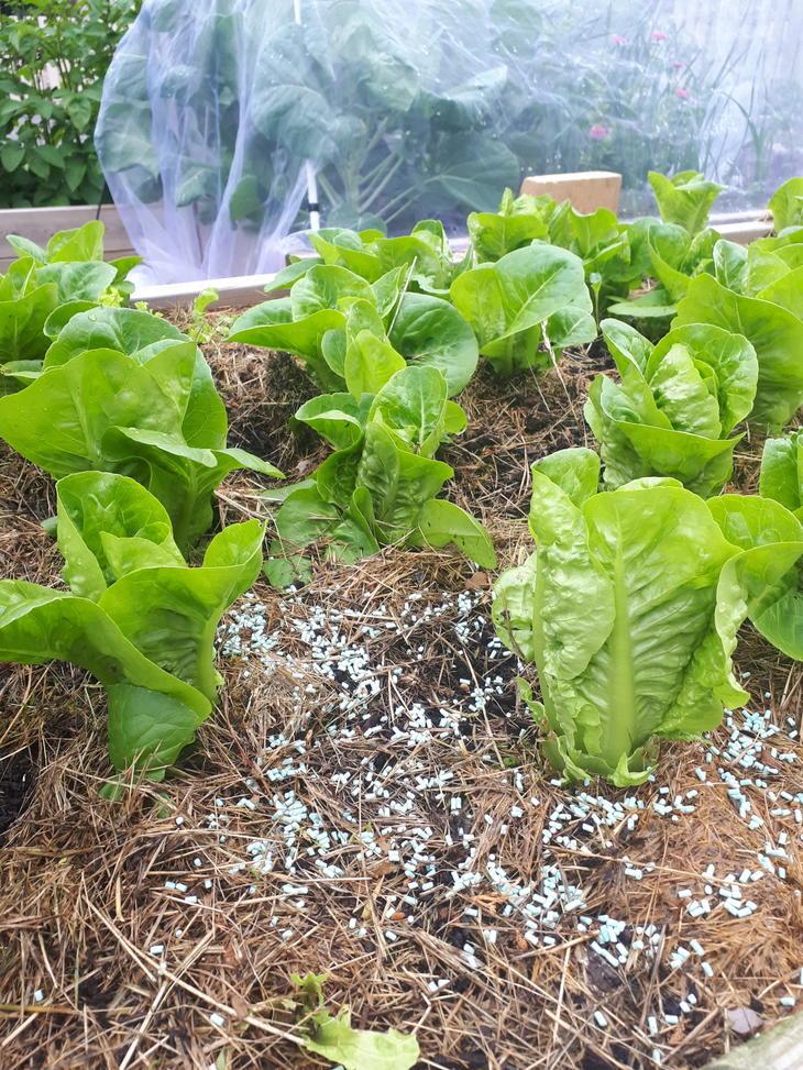Pellets av Ferramol blant salatplanter