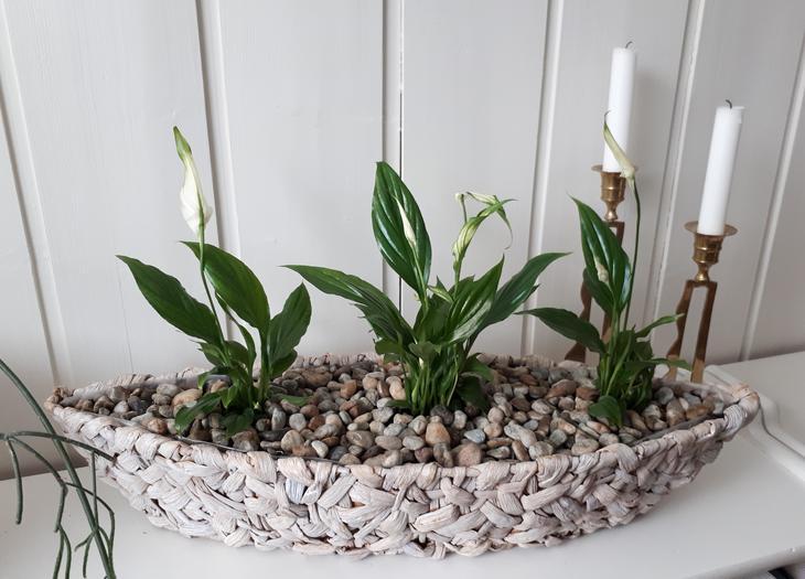 Tre fredsliljer plantet på rekke i en smal, dekorativ, flettet kurv.