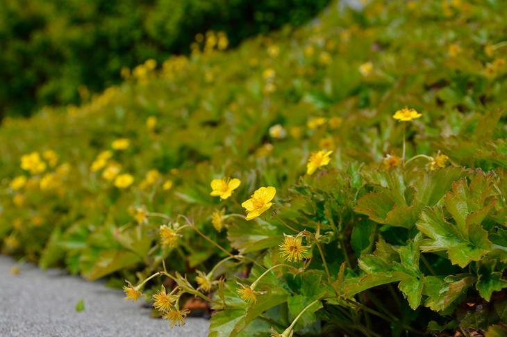 Waldsteinia, en staude med gule blomster, dekker en bakkehelling.