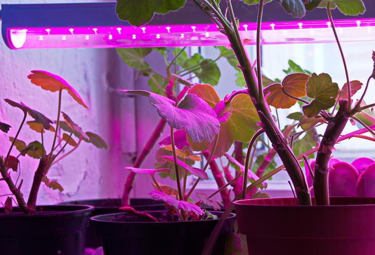 Pelargonia under en lyslist med lilla LED-lys.