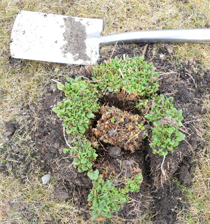 Planten deles i flere mindre deler. Et tørt parti i midten fjernes.