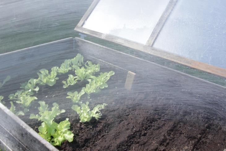 Vanning av salat