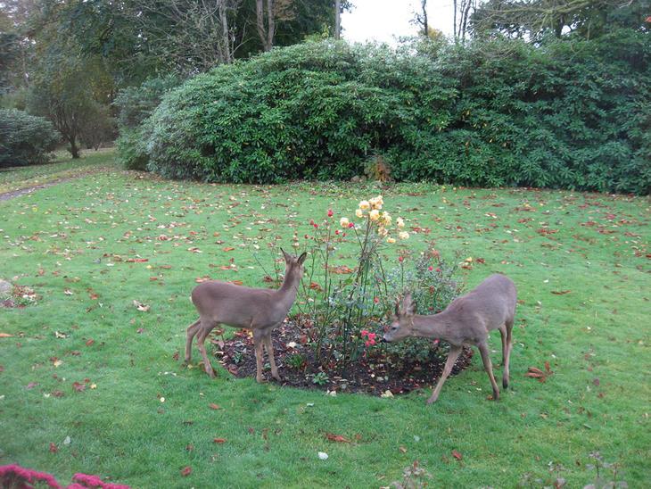 Rådyr spiser roser i en hage.