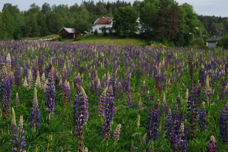 En eng full av blomstrende hagelupin