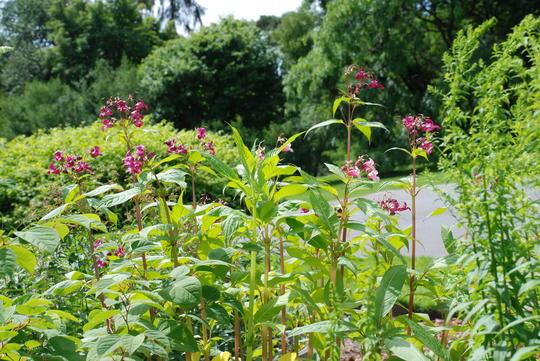 Kjempespringfrø har høye stilker og skarpt rosa blomster.