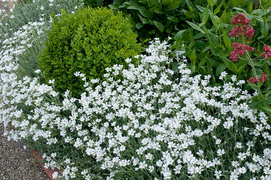 Sølvarve har sølvaktige blad og hvite, små blomster. Her sammen med en buksbom.