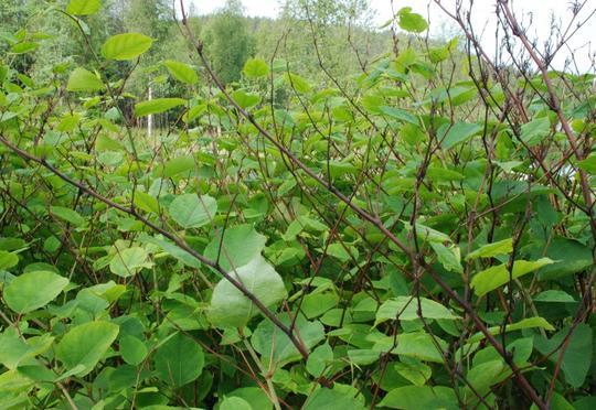 En skog av parkslirekne. Grove stengler og store, mørkt grønne blad.