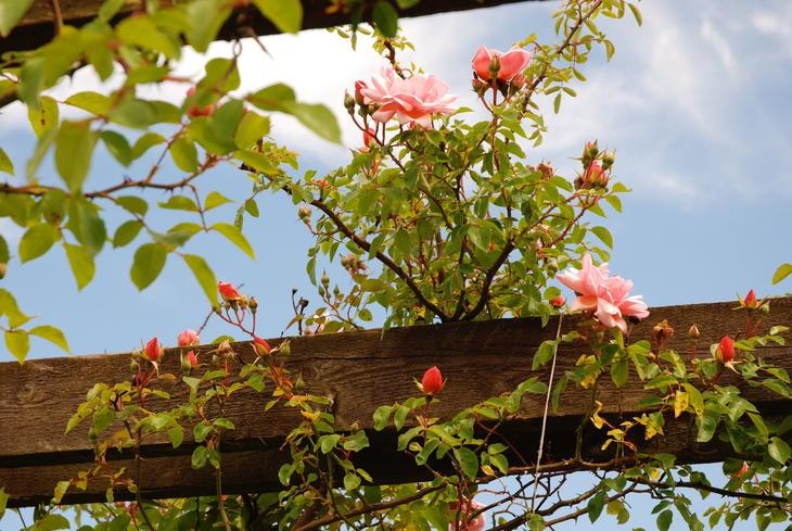 Rosa klatrerose som klatrer på solid støtte