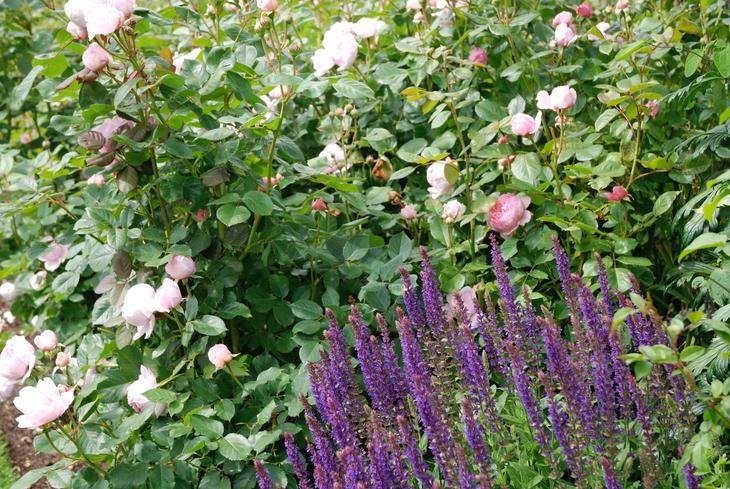 Vakker samplanting med rosa rose og blålilla salvie