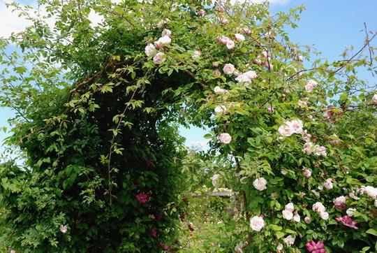 Vakker rosebue med to ulike rosa klatreroser.