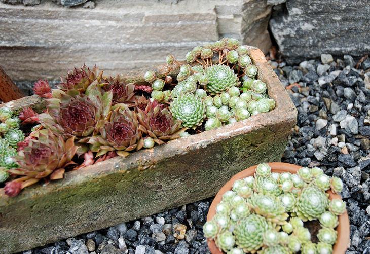 Røde og grønne takløk i en grov keramikkpotte..