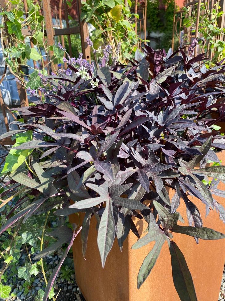 Søtpotetblad i en mørk burgunder farge