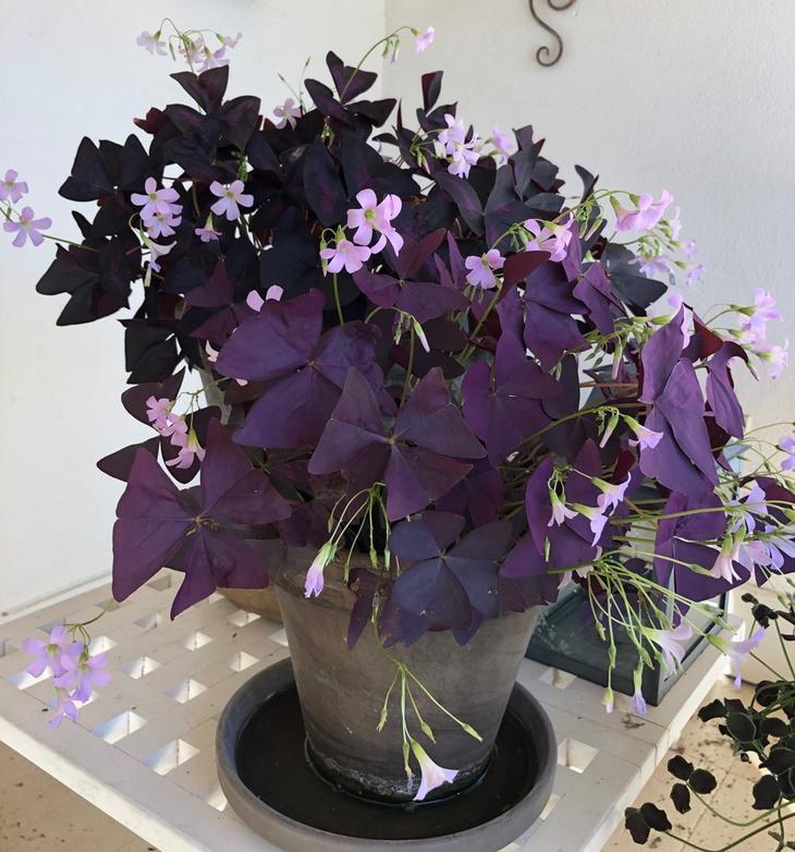 mørk lilla gjøksyre (oxalis) med små rosa blomster