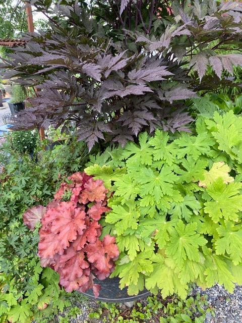 Samplanting av mørk høstormedrue, rød alunrot og grønn geranium