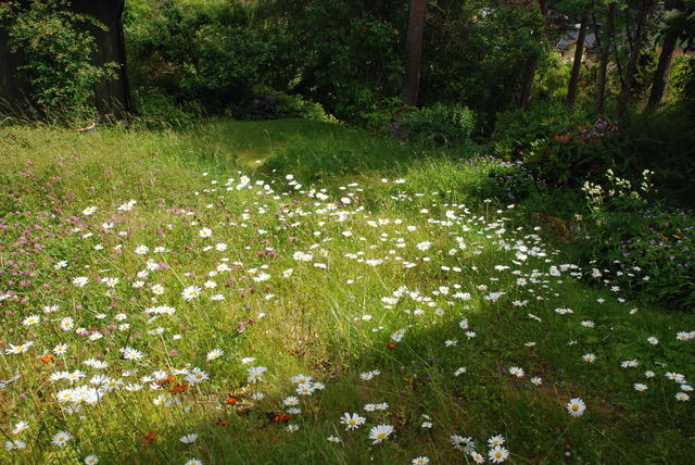 En blomstereng med mange prestekrager ...
